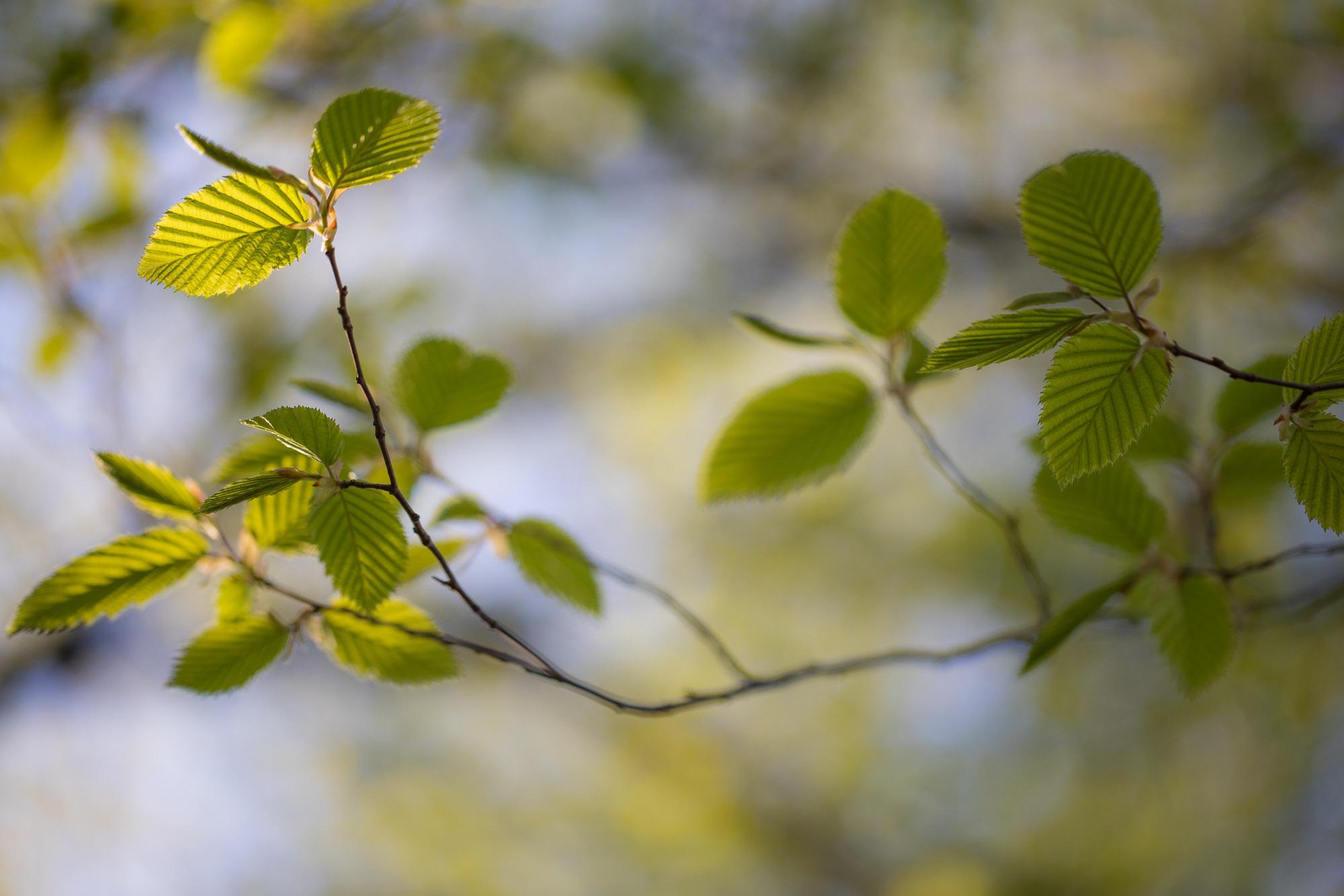 Hildegards groene tak